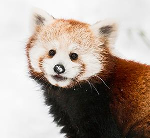 Potter Park's Red Panda Cubs Heading to New Home